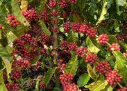 Cafeicultora de Rondônia conquista o 1º lugar no 'Coffee of The Year 2020', confira