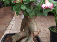 Canela em pó ajuda na cicatrização das rosas do deserto, aponta pesquisa de egressos do UniFacimed