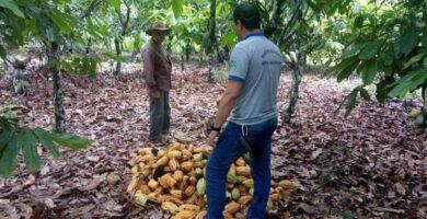Idaron garante não haver suspeita de Monilíase do Cacaueiro em Rondônia; força tarefa é realizada para evitar a praga